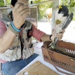 Rescatan un halcón en la Riviera Veracruzana