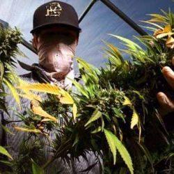 Pide Senado a CDMX asumir responsabilidad sobre vendimia de marihuana