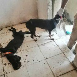 Rescatan a perros encerrados, uno murió de hambre